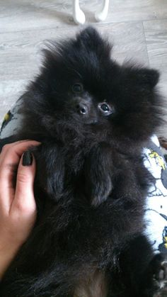 Marvelous Pomeranian Does Your Dog Measure Up and Does It Matter Characteristics. All About Pomeranian Does Your Dog Measure Up and Does It Matter Characteristics. Spitz Pomeranian, Black Pomeranian, Cute Pomeranian, Pomeranians, Micro Pomeranian, Cute Puppies, Cute Dogs, Baby Animals, Cute Animals
