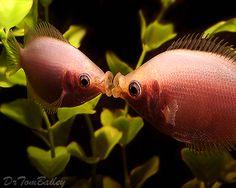 Kissing Gouramis can be seen at the Shedd Aquarium.  http://www.aquariumfish.net/images_01/kissers_kissing_101216b2_w0480.jpg