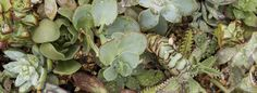 How to Water Succulent Plants Outdoors www.succulentsandsunshine.com
