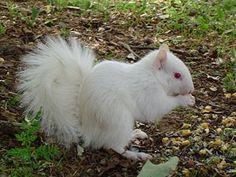Ecureuil albinos