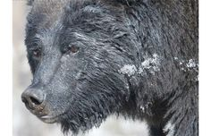 Oil-soaked grizzly bear spotted in Banff National Park
