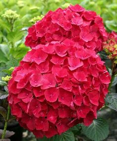 Cardinal Red Hydrangea Shrubs are a French-type, mophead Hydrangea with dark, cardinal-red flowers and serrated edges. Hydrangea Macrophylla, Hortensia Hydrangea, Red Hydrangea, Hydrangea Garden, Garden Shrubs, Garden Plants, Smooth Hydrangea, Red Plants, Geraniums