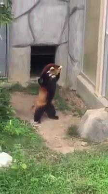 See What Happens When a Red Panda Sees a Stone - World's largest collection of cat memes and other animals Funny Animal Videos, Cute Funny Animals, Funny Animal Pictures, Cute Baby Animals, Animal Memes, Cute Cats, Nature Animals, Animals And Pets, Red Panda Cute
