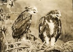 Royal eagle twins at the age of fifty-five days by OSU Special Collections & Archives : Commons, via Flickr