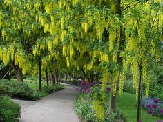 Golden Shower Tree Seeds (Cassia fistula) – Under The Sun Seeds Trees And Shrubs, Flowering Trees, Trees To Plant, Evergreen Trees, Small Gardens, Outdoor Gardens, Modern Gardens, Golden Chain Tree, Tamarindus Indica