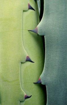 agave.