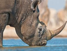 Can it ever be right to auction a licence to shoot a seriously endangered animal like the black rhino? The Dallas Safari Club, a hunters' gr...