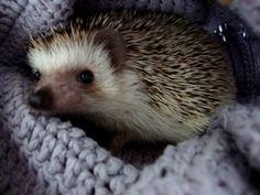 pygmy hedgehog | Tumblr