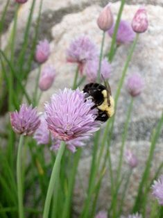 Chives are among the world's most versatile and prolific herb plants. Chives are so versatile that they can be an inspiration for countless projects and money-making, money-saving adventures. Here are 10 inspiring ideas for using chive plants. Home Grown Vegetables, Organic Vegetables, Growing Vegetables, Chives Plant, Medicinal Weeds, Planting Potatoes, Purple Garden, Fruit Garden, Healing Herbs