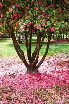 Las camelias son sin duda uno de los arbustos de flor que llaman la atención en un jardín. Entre sol y sombra, protegidos de las heladas y con tierra ácida demostrarán su belleza...y recuerda que es un arbusto que puede superar los 2m de altura.