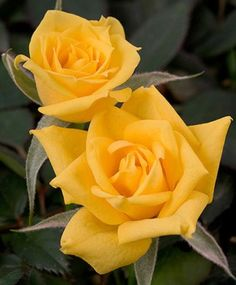 Sweet Diana ~ Miniature Rose .......... I just LOVE yellow roses!!! Memories of a bush in a home where I lived for 18 years back in another time and place. The perfume was divine and the blooms would hold for a long time indoors.