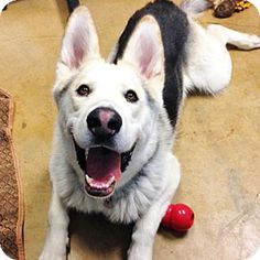 Walnut Creek, CA - I'm Won Ton, Adopt Me! Alaskan Malamute Mix | Adult | Male 1 1/2-year-old Won Ton is a beautiful, active, social boy who loves toys and would be an excellent candidate for a home where he might have the opportunity to run and romp to his heart's content. Won Ton is a typical sled dog breed who will need a consistent schedule, excellent management, some training, and a daily outlet for his exercise needs. We recommend Won Ton take a Basic Manners class where he can learn…
