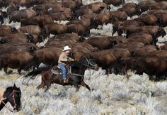 Over 500 bison are moved into the corrals on Antelope Island during the 26th annual bison roundup on Friday, October 26, 2012. (Francisco Kjolseth  |  The Salt Lake Tribune)