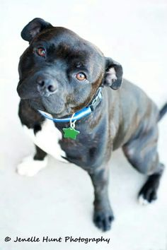 Hummer. Empire strikes back. Storms full brother. English staffordshire bull terrier. Stunning black brindle boy.