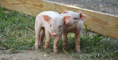 OMG THE PIGGIE PWESH!! I love FarmSanctuary.org -- Maggie (left) and Bertha (right).