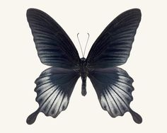 Butterfly Photo No. 4 - Papilio Lowi - Asian Swallowtail Butterfly Print