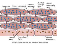 Stratum Corneum Anatomy - The Key to Healthy, Attractive Skin: Stratum Corneum Anatomy - The Key to Healthy, Attractive Skin