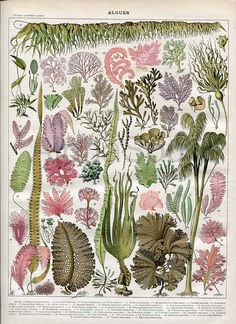 Seaweed Algae Kelp Ocean Plants French 1898-1904 Antique Print Nouveau Larousse $15