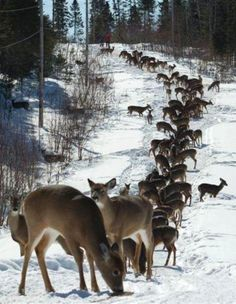 Big herd of #deer in the #snow