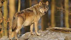 Vlk obecný. Ilustrační foto