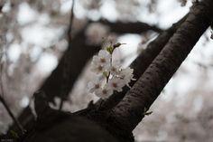#여의도봄꽃축제 2015 Yoido Spring Flower Festival  여의도봄꽃축제!!! 많은 사람들이 봄을 만끽하기 위하여 방문했습니다.. 화려한 #벚꽃 은 희망과 푸근한 마음을 느끼게 합니다....반면 길바닥에도 만은 벚꽂이 떨어져 있더군요...  바쁜도시생활에서 여유를 찾는 좋은 시간이었습니다...!!  여의도벚꽃,봄꽃축제 http://korean.visitkorea.or.kr/kor/inut/where/festival/festival.jsp?cid=525755  #디스크, #체형교정, #사상체질, #다이어트, #통증 전문 #우리들한의원 대표원장 #김수범 한의학박사   http://www.wooree.com  무료앱  free app.  http://www.iwooridul.com/app-update