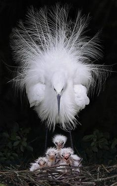 Great White Egret    Please SHARE our Wild for Wildlife and Nature page. https://www.facebook.com/WildforWildlifeandNature