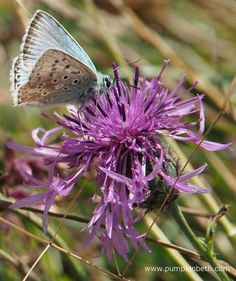 A male Chalk Hill Blue Butterfly, Polyommatus coridon, feeding on Centaurea scabiosa, also known as Greater Knapweed, at Pewley Down Nature Reserve in Guildford. Chalk Hill, Big Butterfly, Nature Reserve, Butterflies, Insects, Places To Visit, Wildlife, Plants, Blue