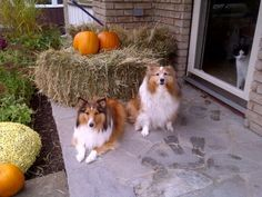 Autumn Shelties