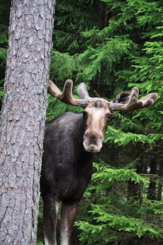 I really want to see a moose when I go to Alaska 😍❤️ Nature Animals, Animals And Pets, Funny Animals, Cute Animals, Wild Animals, Beautiful Creatures, Animals Beautiful, In Natura, Tier Fotos