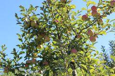 Apples of North Georgia — Wisdom Kitchen - Atlanta Personal Chef & Dietitian