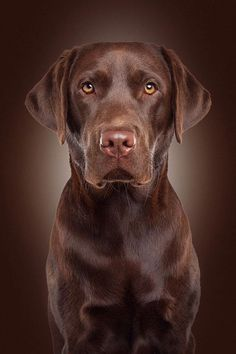 Mind Blowing Facts About Labrador Retrievers And Ideas. Amazing Facts About Labrador Retrievers And Ideas. Beautiful Dogs, Animals Beautiful, Cute Animals, Perro Labrador Retriever, Chocolate Labrador Retriever, Labrador Dogs, Rottweiler Puppies, Retriever Puppies, Top 10 Dog Breeds