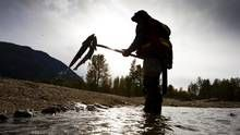 A DFO technician pulls dead Sockeye Salmon out of the Adams River in B. to estimate the size of the run. (JOHN LEHMANN/The Globe and Mail) Fishing Guide, Fly Fishing, Fraser River, Sockeye Salmon, Best Location, Ottawa, British Columbia, Conservation, Globe
