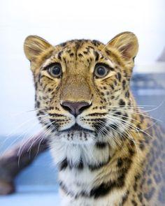 Beardsley Zoo's Amur leopard Sofiya