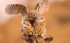 A family of litle owls line up in pecking order on a branch in Kiryat Gat, Israel