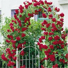 Best Climbing Roses – Yellow, White, Red, Lavender500 x 500 | 93.1KB | patiogazeboshq.com