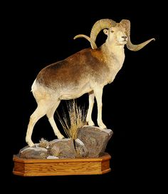 Products Big Horn Sheep, Trophy Rooms, Elk Hunting, Marco Polo, Horns, Moose Art, Lion Sculpture, Museum, Statue