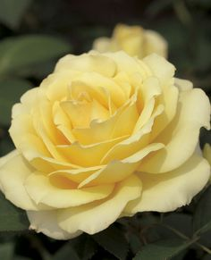 c ~Summer Love™ Hybrid Tea Rose - Luminous soft yellow, 2009 Intro Exotic Flowers, Pretty Flowers, Rose Foto, Ronsard Rose, Coming Up Roses, Growing Roses, Hybrid Tea Roses, Love Rose, Cactus Flower