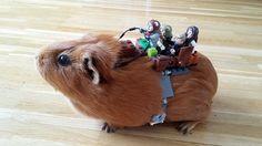 Onward!  Guinea pig saving the Star Wars day!