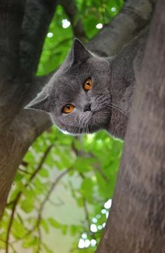 Some British Shorthairs look a bit grumpy, but they're the sweetest, kindest cats!