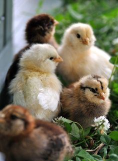 Araucana / Americana...I love this breed...plus the chicks are so cute their markings remind me of a chipmunk...