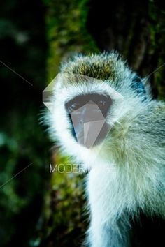 Macaco/Monkey by Hugo Macedo – Moderimage