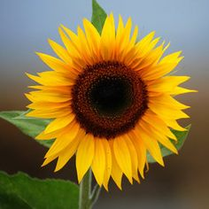 Sun flower-When I die, I want to be surrounded by the sun!