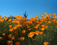 Arizona Poppies and Saguaro. Across the Desert Floor Poppies. JOANNE WEST PHOTOGRAPHY