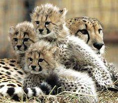 bébés léopards