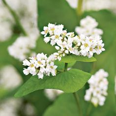 sarrasin I Buckwheat: A Summer Soil Boost. Recharge your soil by using buckwheat as a cover crop Soil Improvement, Fall Crops, Plant Covers, Planting Flowers, Plants, Garden, Buckwheat Flower, Organic Gardening Tips, Soil