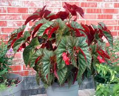 """Angel Wings Begonia - The leaves actually sprout in pairs in the shape of wings.  Mine has pink flowers/under leaves ... very easy to get """"starts"""" from if any of you want some :)"""