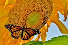 August Monarch on Sunflower Photo by Laura S. — National Geographic Your Shot