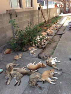 8 miles off the coast of Ozu City in Japan's Ehime Prefecture is a tiny island full of cats. Just 15 human residents..