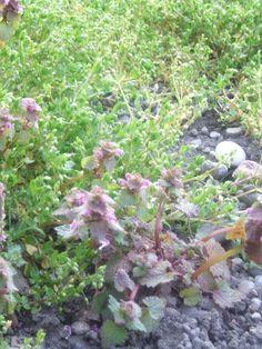 lamier pourpre plante comestible classée MAUVAISE HERBE mais qui n'a rien de mauvais...