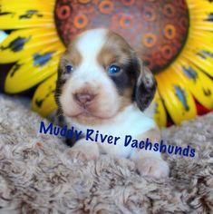 26 Best Akc Mini Dachshund Puppies New Babies Images Dachshund
